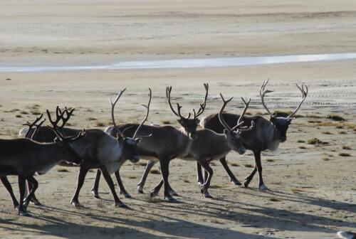 Reindeers Finnmark