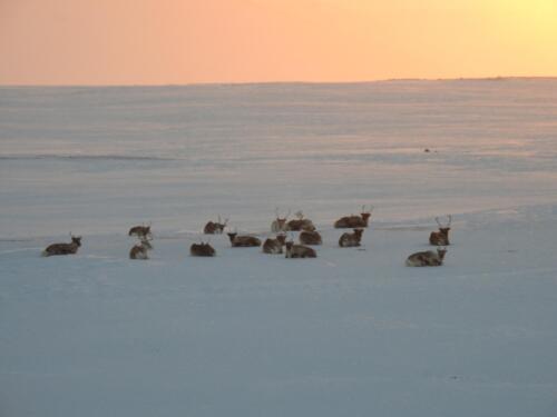 Reindeers sunbathing Finnmark