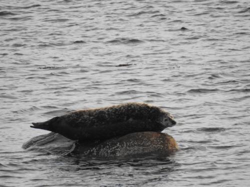 Seals Kongsfjord