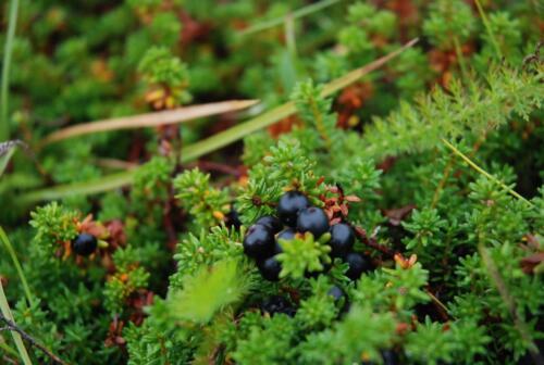 black crowberry