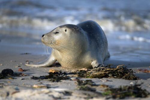 Seal in Norway